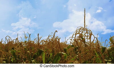Corn plants waving in the wind - more windy