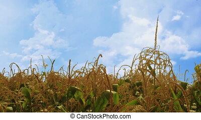 Corn plants waving in the wind - more windy