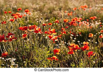 Corn Poppies in a field