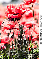 Corn poppies (Papaver rhoeas) in a field. ( HDR image )