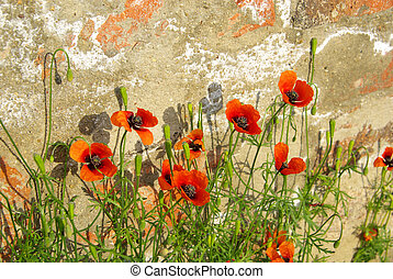 corn poppy before the wall 02