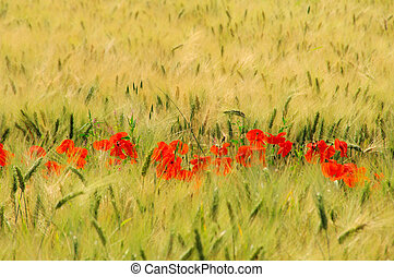 corn poppy in field 01
