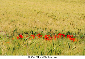 corn poppy in field 02