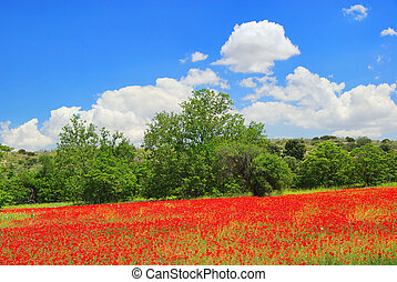 corn poppy in field 03