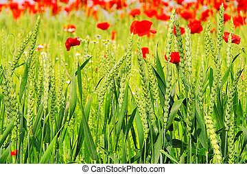 corn poppy in field 04