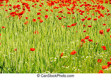 corn poppy in field 06