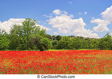 corn poppy in field 08