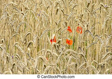 corn poppy in field 09