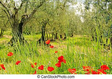 corn poppy in olive grove 01
