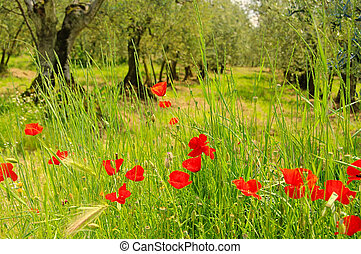 corn poppy in olive grove 02
