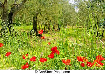 corn poppy in olive grove 03