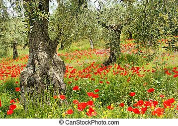 corn poppy in olive grove 04