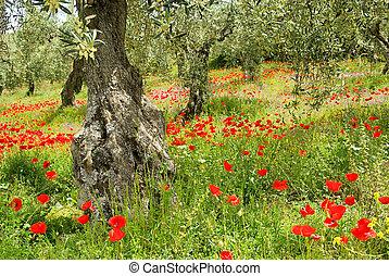corn poppy in olive grove 05
