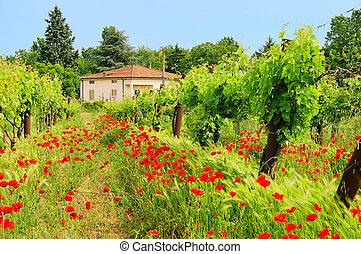 corn poppy in vineyard 01