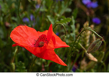 Corn poppy (Papaver rhoeas) are common agricultural weeds