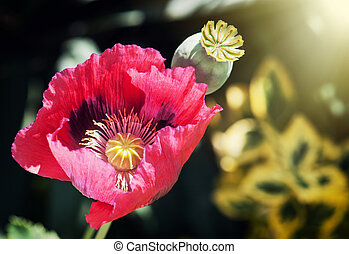 Corn poppy red flower in sun rays