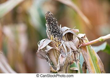 Corn rot disease - Close up of corn cob with disease on...