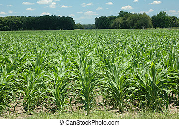 Corn rows - A field of new corn.