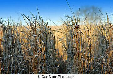Corn Rows, Blue Sky