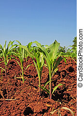 Corn seedlings crop field