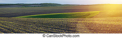 corn seedlings on a agricultural field