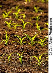 corn seedlings on a field