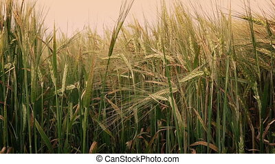 Corn Shoots At Sunset - Ripe corn plants sway in the wind