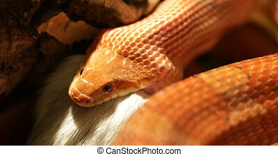 Corn snake feeding - A red corn snake feeding in terrarium....