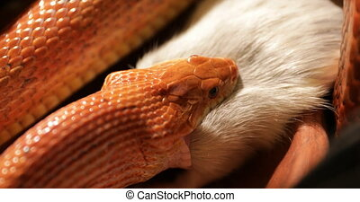 Corn snake prey - close up on Pantherophis guttatus, a North...