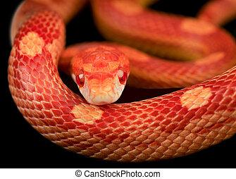 Corn snake - Close up of corn snake