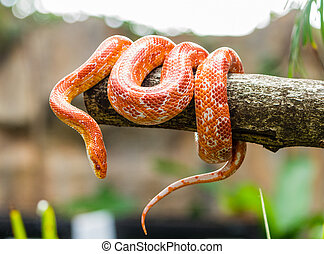Corn snake wrapped around a branch