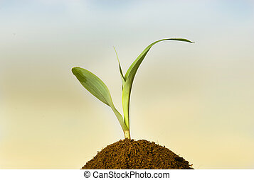 Corn sprout - Single young sprout of corn on soil pile