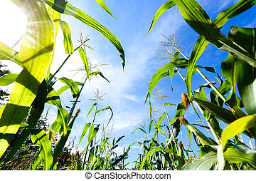 corn sprouts on a blue sky background, view from the bottom