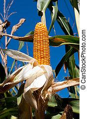 Corn stalk on the blue sky