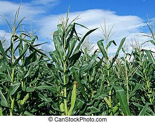 Corn stalk - Green corn field on sunny blue sky