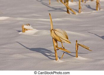 Corn Stalk in Snow - Stalk of corn poking through the snow ...