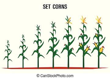 Corn stalk. Isolated corn on white background.