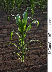 Lonely corn stalk growing on a plantation