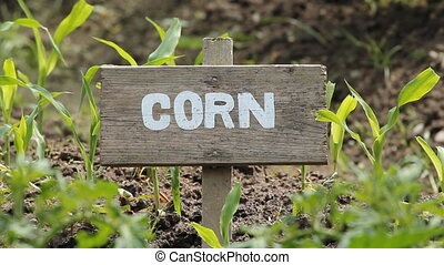 Corn.  - Corn crop with wooden sign.
