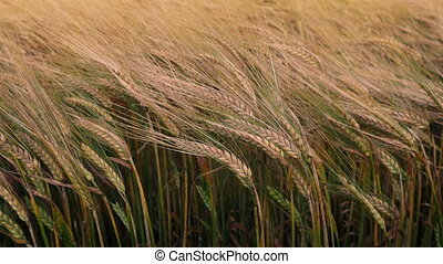 Corn Swaying In Breeze At Sunset - Corn sways in the breeze...