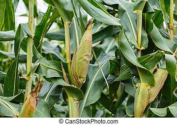 corn tree in the field.