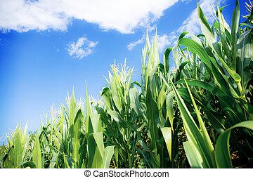 Corn tree with the sunlight.
