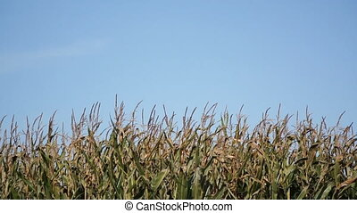 Corn plants with blue sky background
