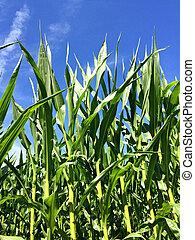 corn with a blue sky