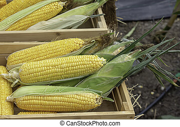 Corn with yellow pods In a wooden crate