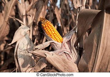 Corncob - A ripe corncob on the plant