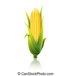 Corncob isolated on white vector illustration