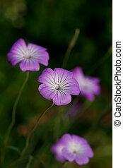 Corncockle flower - Close up of agrostemma githago, ...