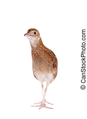 Corncrake or Landrail, Crex crex, on white - Corncrake or ...