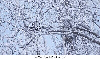 corneille, hiver, branche